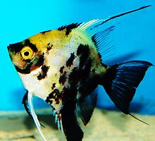 Angel Fish by Donna Chapman