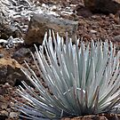 Silversword 2 by Tim Stringer