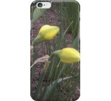 Flowering. Daffodils iPhone Case/Skin