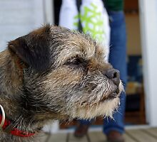 Beautiful Border Terrier by welovethedogs