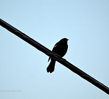 Agelaius Phoeniceus - Red-Winged Blackbird | East Moriches, New York  by © Sophie W. Smith