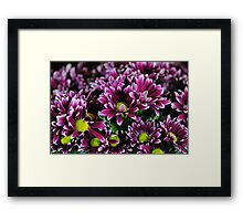 Purple Mums Framed Print