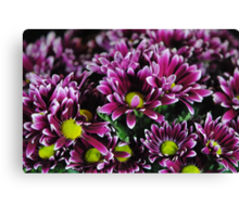 Purple Mums Canvas Print