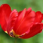 Red Parrot Tulip by AnnDixon