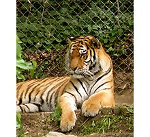 Tiger 6 Photographic Print