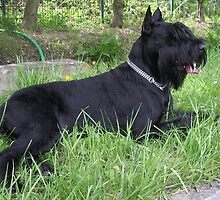 Super Schnauzer Giant by welovethedogs