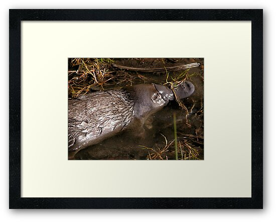 Foraging Platypus, Cradle Mountain Road, Tasmania, Australia. by kaysharp