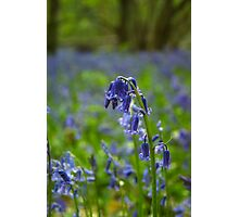 Bluebell Tranquility Photographic Print
