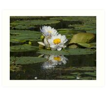 White water lilly on a lagoon  Art Print