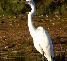 Intermediate Egret by stevealder