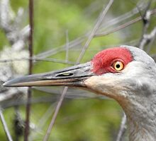 Up Close and Personal, Sandhill Crane by PeggCampbell