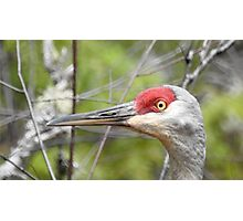 Up Close and Personal, Sandhill Crane Photographic Print