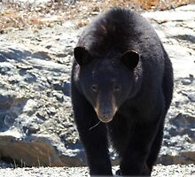 Young Black Bear by PeggCampbell