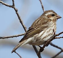 Female Purple Finch in the Spring by PeggCampbell