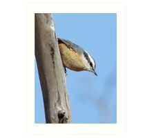 Red-breasted Nuthatch Art Print