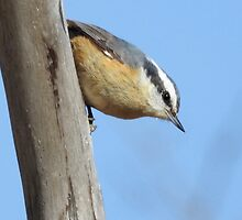 Red-breasted Nuthatch by PeggCampbell