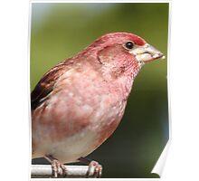 Male Purple Finch Poster