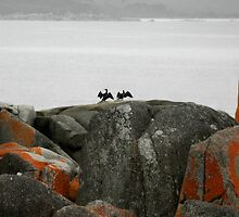 Great Cormorants Drying their Wings, Binalong Bay,Tasmania,Australia. by kaysharp