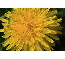 A Simple Dandelion Photographic Print