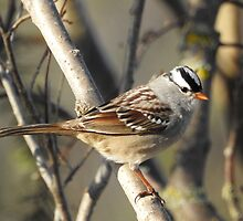White-crowned Sparrow by PeggCampbell