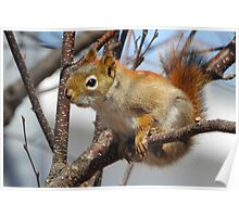 Red Squirrel, Hanging Out Poster