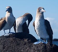 Blue Footed Booby by Georgie Johnson