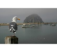 WESTERN GULL (larus occidentalis) Photographic Print