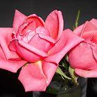 Pink Roses by debbiedoda