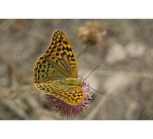 Dark green fritillary Photographic Print