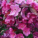 Dark Pink Cherry Blossoms by Jane Neill-Hancock
