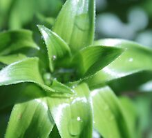 fresh spring green lily leaves. by naturematters