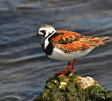 Ruddy Turnstone by Nancy Barrett