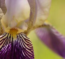 Iris by Jen Millard