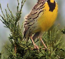 Meadowlark by Jen Millard