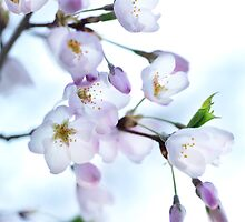Sakura Japanese cherry blossom art photo print by ArtNudePhotos