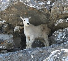 mountain goat in rock cleft by botmitzvah