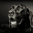 "German Shorthair Pointer ""SHADOW"" by PamelaJoPhoto"