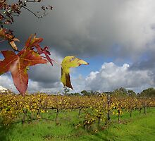 Vines in autumn by John Mitchell