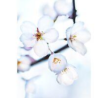 Flowers of Japanese cherry blossom art photo print Photographic Print