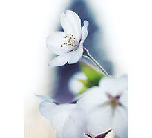 Sakura cherry blossom flowers art photo print Photographic Print