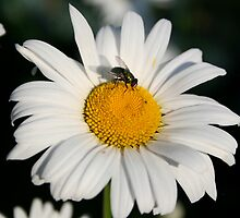 Daisy and Fly by tanmari
