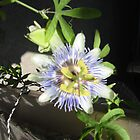 Blue Passion Flower by StellaMorales