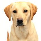 Yellow labrador by faithimages