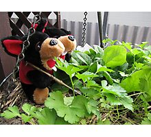 RnR gardening the spinach, tomatoes and herbs Photographic Print