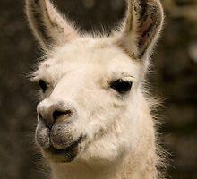 Llama  by Jon Lees