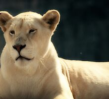 White Lioness II by Vanessa  MacLeod