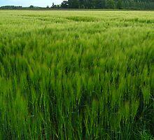 wheat field by Ireentje