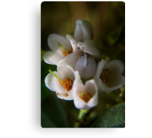 blossoms of Cowberry (from wild flowers collection) Canvas Print