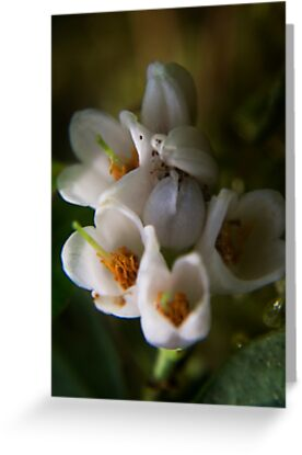 blossoms of Cowberry (from wild flowers collection) by Antanas