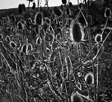 teasels royd edge meltham by Jean Bashford